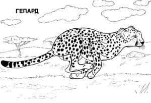 Гепард картинки раскраски (3)