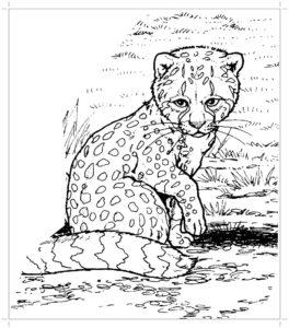 Гепард картинки раскраски (31)