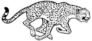 Гепард картинки раскраски (33)