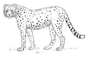 Гепард картинки раскраски (34)