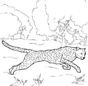 Гепард картинки раскраски (35)