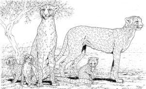 Гепард картинки раскраски (37)