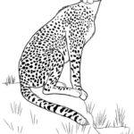 Гепард картинки раскраски (4)