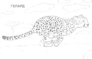 Гепард картинки раскраски (6)