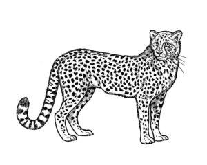 Гепард картинки раскраски (7)
