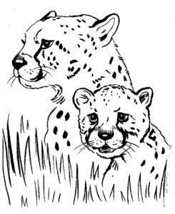 Гепард картинки раскраски (8)