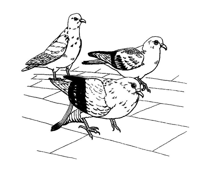 рисунки для раскрашивания голуби древняя нация самого