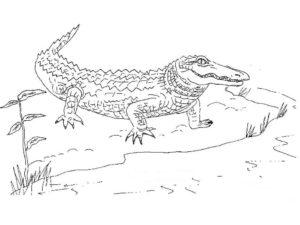 Дикие животные картинки раскраски (10)