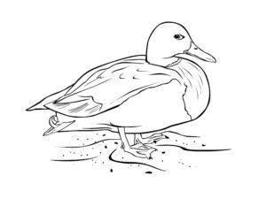 Домашние птицы и их птенцы картинки раскраски (16)