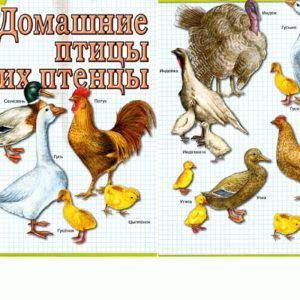 Домашние птицы и их птенцы раскраски