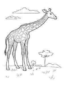 Жираф картинки раскраски (11)