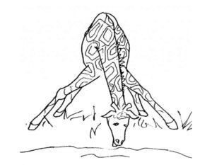 Жираф картинки раскраски (12)
