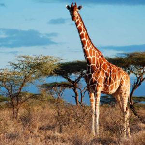 Жираф раскраски