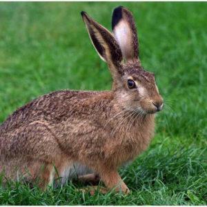 Заяц раскраски