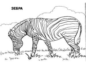 Зебра картинки раскраски (15)