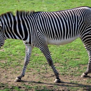 Зебра раскраски