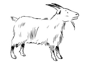 Коза картинки раскраски (16)