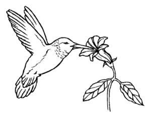 Колибри картинки раскраски (13)