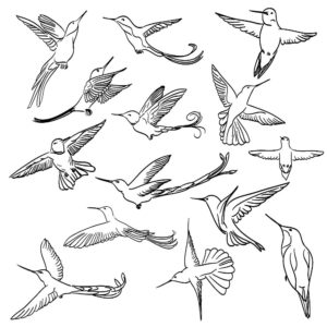 Колибри картинки раскраски (16)
