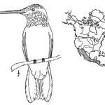 Колибри картинки раскраски (18)