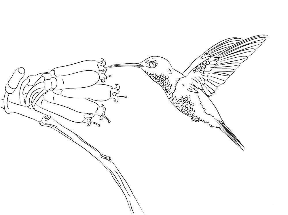 Колибри картинки раскраски (20)