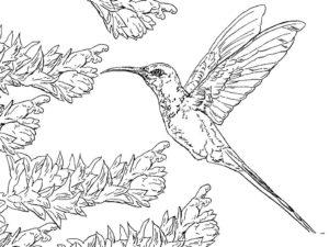 Колибри картинки раскраски (23)