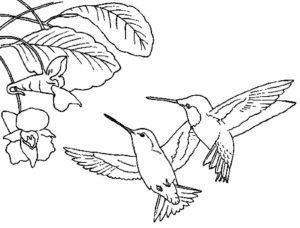 Колибри картинки раскраски (24)
