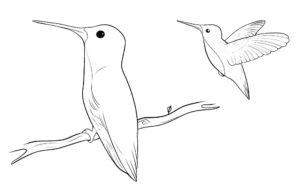 Колибри картинки раскраски (29)