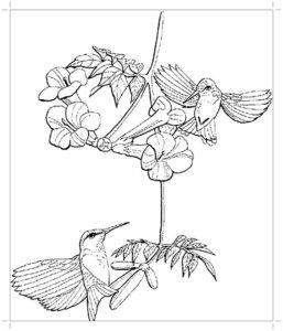 Колибри картинки раскраски (3)