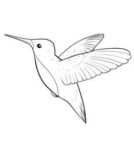 Колибри картинки раскраски (30)