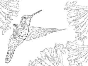 Колибри картинки раскраски (31)