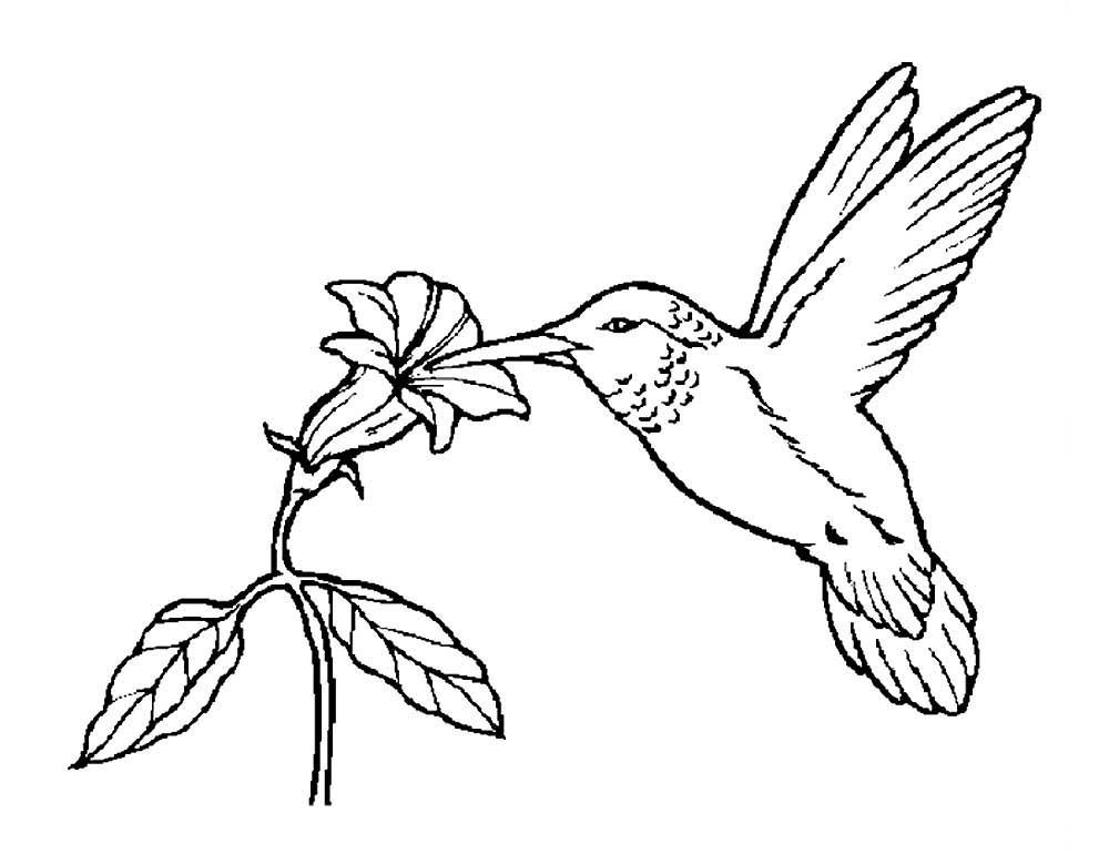 Колибри картинки раскраски (4)