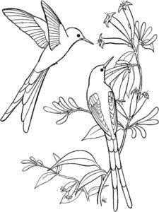 Колибри картинки раскраски (6)