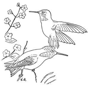 Колибри картинки раскраски (8)
