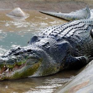 Крокодил раскраски