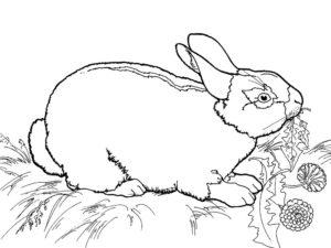Кролик картинки раскраски (21)