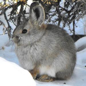 Кролик раскраски