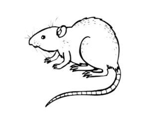 Крыса картинки раскраски (1)