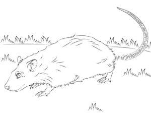 Крыса картинки раскраски (13)