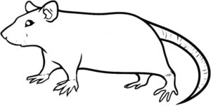Крыса картинки раскраски (19)