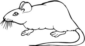 Крыса картинки раскраски (23)