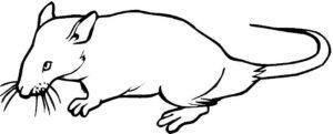 Крыса картинки раскраски (29)