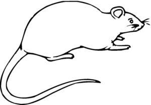 Крыса картинки раскраски (30)
