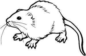 Крыса картинки раскраски (34)