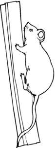 Крыса картинки раскраски (41)