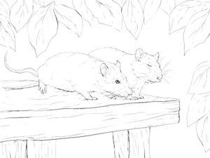Крыса картинки раскраски (42)