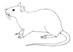 Крыса картинки раскраски (49)