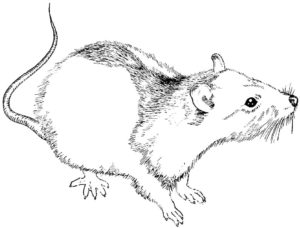 Крыса картинки раскраски (5)