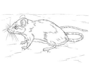 Крыса картинки раскраски (8)