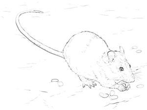 Крыса картинки раскраски (9)